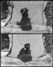 "Dog, Pekinese, named ""Jet"", owned by J.P. Smith. [negative]"