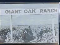 Oakdale Giant Oak Ranch Vineyard