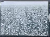 Corn - Iowa