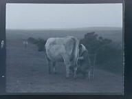 Untitled (Landscape w/cows)