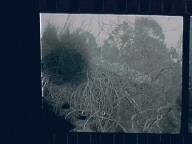 Untitled (Fig Tree)