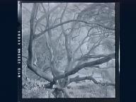 Oak Tree, Spring 1952