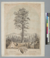 Mammoth Arbor Vitae [redwood]: standing on the head waters of the Stanislaus & San Antoine Rivers, in Calaveras County, California