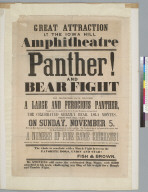 Great attraction at the Iowa Hill Amphitheatre: panther and bear fight [advertisement]