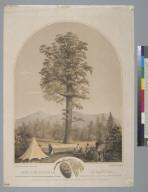 Wellingtonia Gigantea [redwood]: standing on the head waters of the Stanislaus & San Antoine Rivers in Calaveras County, California
