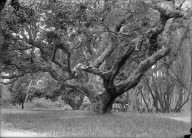 """LeConte oak, 1900,"" University of California at Berkeley. [negative]"