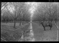 Mei 1910. [Horse at canal in orchard.] [negative]