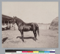 """""""Voltaic,"""" thoroughbred horse owned by J.P. Smith. [photographic print]"""