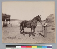 """Voltaic,"" thoroughbred horse owned by J.P. Smith, and man holding reins. [photographic print]"