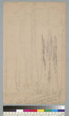 [Redwood trees, California]