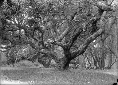 """LeConte oak, 1900,"" University of California at Berkeley. [negative]"