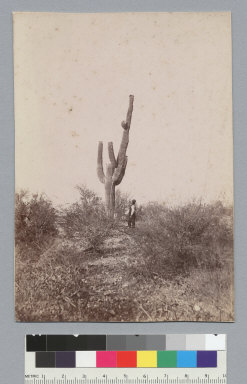 Cactus. [photographic print]