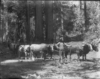 Man leading lumber bull team, Bohemian Grove. [negative]