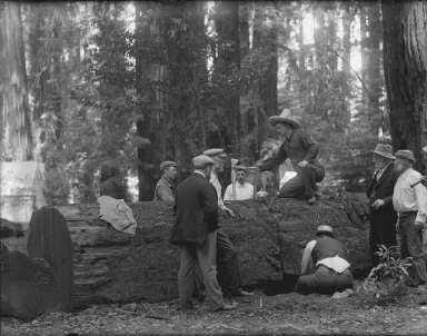 Men cutting redwood log, Bohemian Grove. [negative]