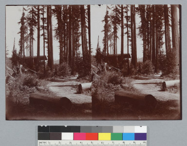 Grove with cabin and road, Bohemian Grove. [photographic prints]